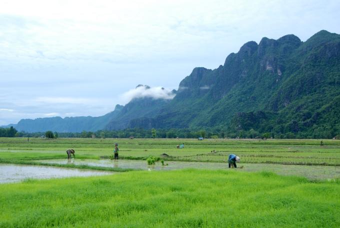 Rice paddies - Laos.JPG